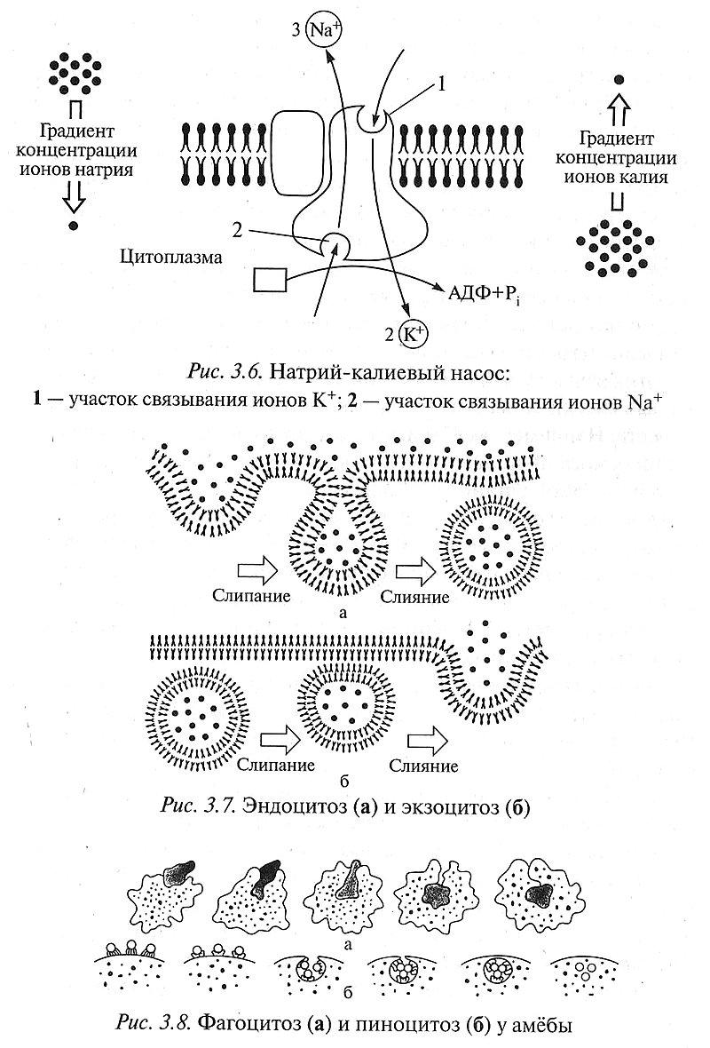 Строение клетки. Обмен веществ