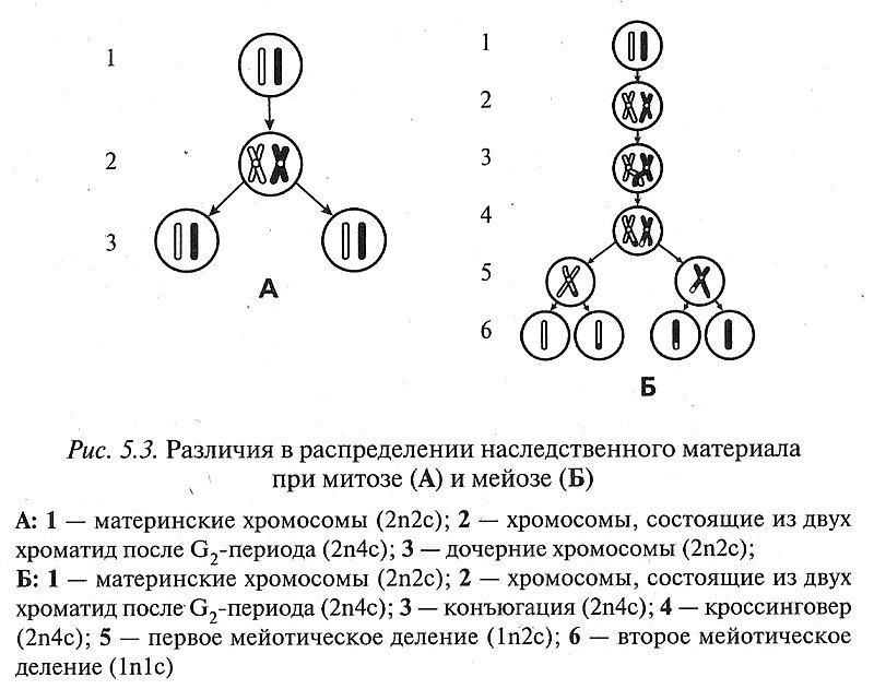 Размножение и индивидуальное развитие организмов
