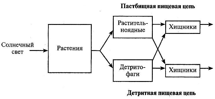 Y-образная модель потока энергии, показывающая связь между пастбищной и детритной пищевыми цепями