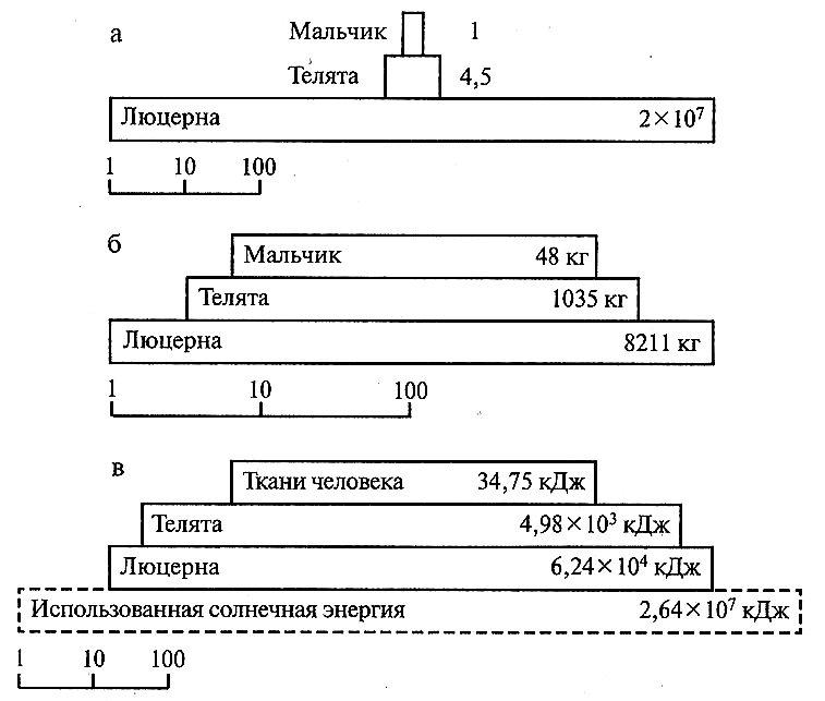 Пирамиды чисел (а), биомасс (б) и энергии (в), представляющие упрощённую экосистему