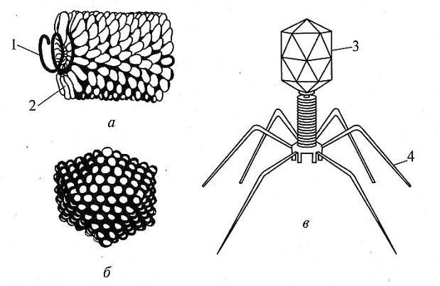 Строение вирусов