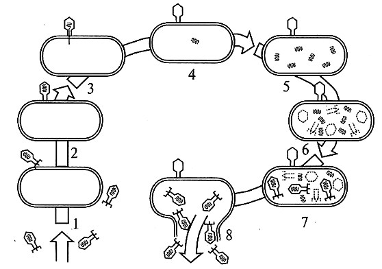 Схема цикла размножения бактериофага